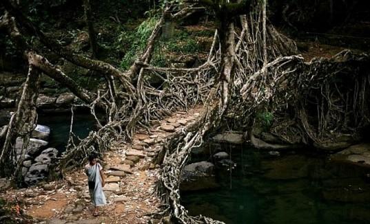 Living Growing Root Bridges