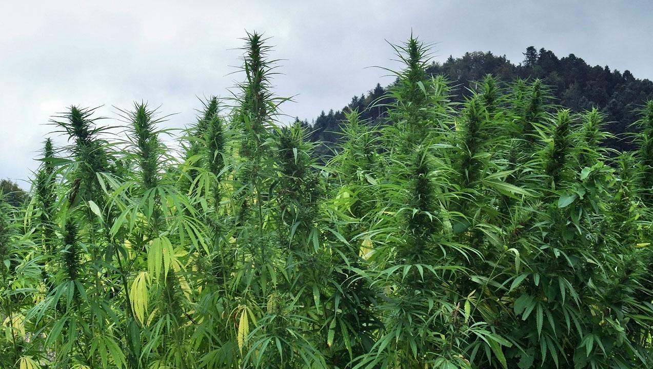 Source - marijuana.com